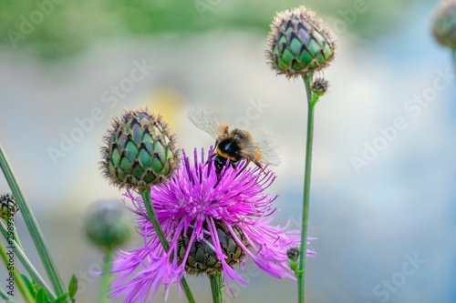 Fotografia Bumblebee collects nectar of pink cornflower