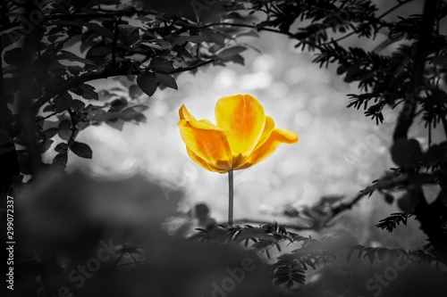 Yellow tulip soul in black white for peace heal hope. The flower is symbol for power of life and mind strength beyond grief death and sorrows. Also symbolizes healing of stress or burnout #299072337