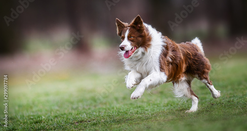 Leinwand Poster Adult brown white border collie run very fast in training day