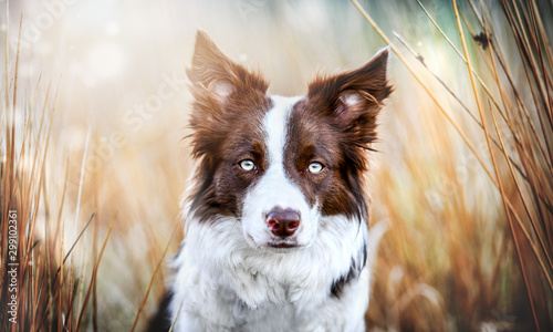 Foto Border collie head detail and sunny background