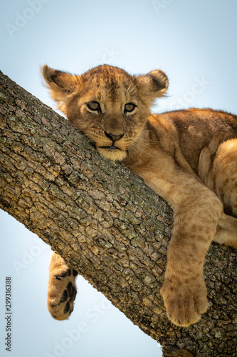 Fotografie, Obraz Close-up of lion cub relaxing in tree