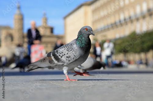 Photo paloma en la plaza de nuestra señora del pilar zaragoza 4M0A9738-as19