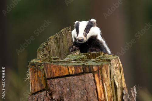 Foto European badger (Meles meles) is a species of badger in the family Mustelidae an