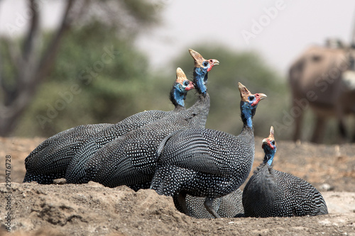 Canvas Print The helmeted guineafowl is the best known of the guineafowl bird family, Numididae, and the only member of the genus Numida