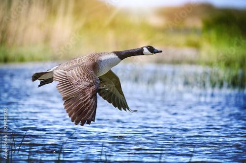 Canada goose big bird in flight close beautiful water lake. Fototapeta