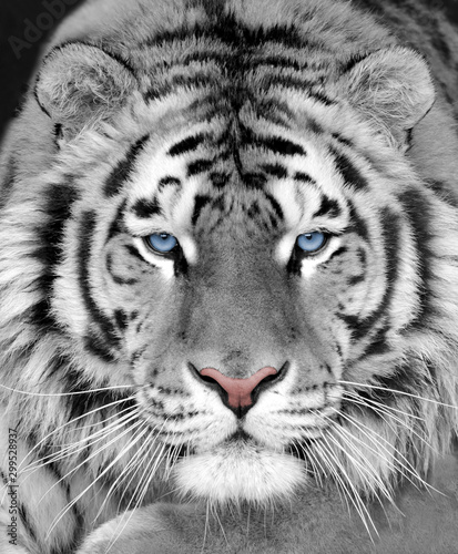 Canvas Print The face of a white beautiful tiger close-up