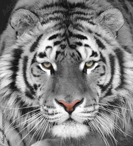 Fotografie, Obraz The head of a white beautiful tiger