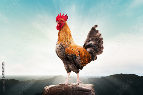 brown rooster perched on the mountain Fototapet