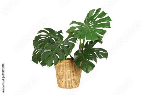 Fototapeta Home plant monstera in straw basket flowerpot isolated on white background