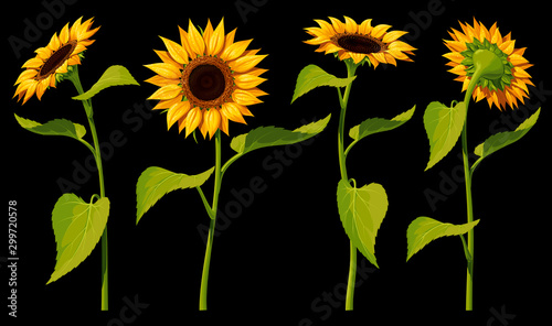 Fotografia A set of four isolated sunflower flowers with leaves and stems, in different angles, on a black background