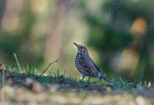 Fotografie, Obraz Selective focus shot of a beautiful wood thrush bird standing on a blurred backg