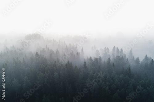 Las sosnowy we wczesnej porannej mgle 1