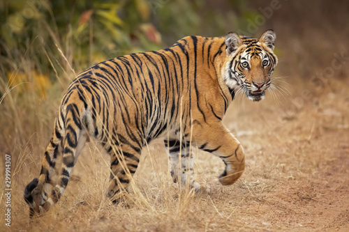 Bengal tiger is a Panthera tigris tigris population native to the Indian subcontinent Fototapet
