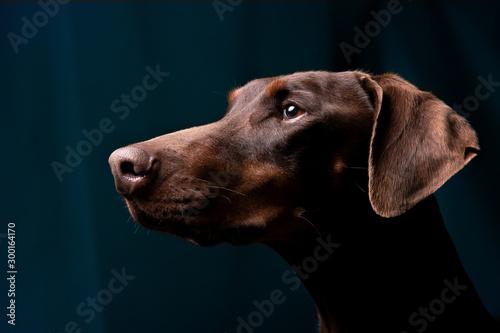 Valokuvatapetti Dobermann Portrait