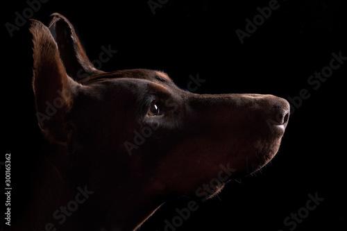 Billede på lærred Dobermann Portrait