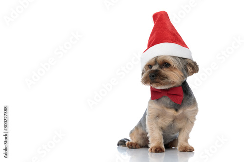 Canvas Print yorkshire terrier dog wearing christmas hat sitting and looking away