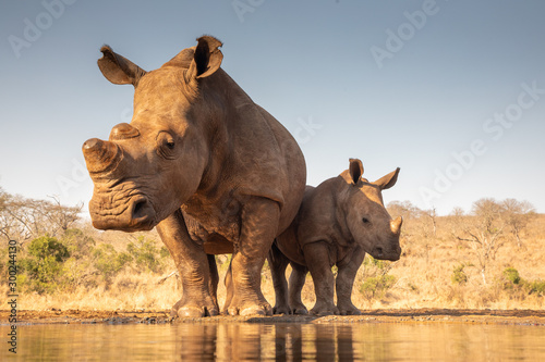 Photo Mother and baby rhino getting ready to drink