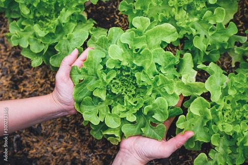 Carta da parati woman hands picking green lettuce in vegetable garden