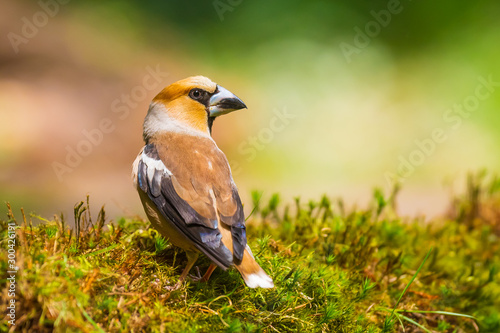 Canvastavla Closeup of a male hawfinch Coccothraustes coccothraustes songbird perched in a forest