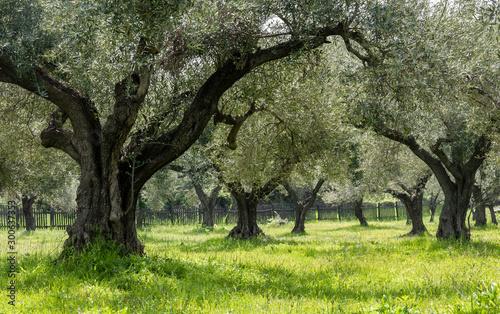 Obraz na płótnie Olive Grove Tree Greece
