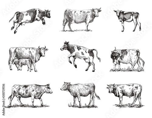Foto breeding cow. animal husbandry. sketches on a grey background
