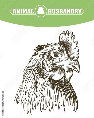 chicken breeding Fototapeta