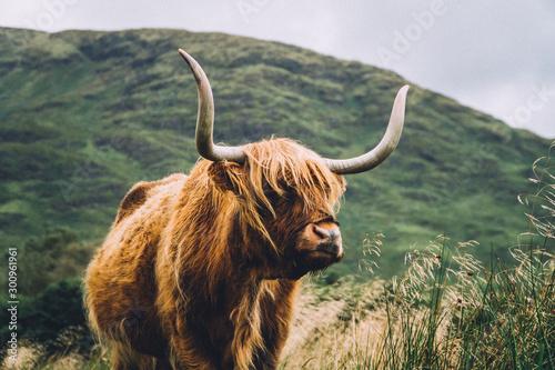 Stampa su Tela highland cow on a background