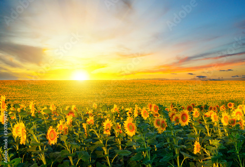 Field of blooming sunflowers on background sunset.