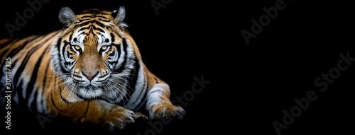 Fotografia Tiger with a black background