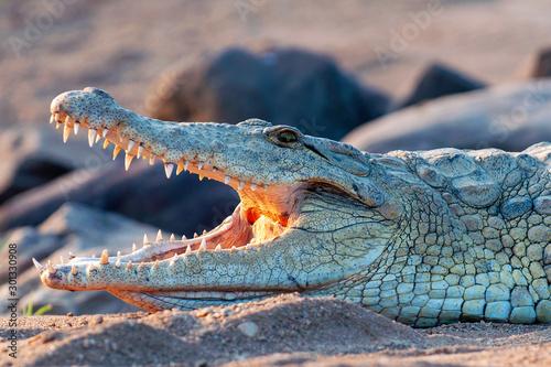 Photo Nile Crocodile, up close, on land, sharp, clear, teeth and eyes, croc,