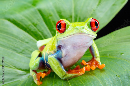 Fotografie, Tablou Red Eyed Tree Frog,  Agalychnis Callidryas, on a Leaf with Black Background