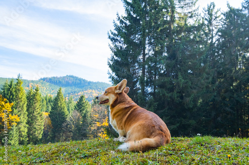 Canvas Print Portrait of cute corgi dog in the summer forest