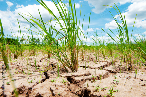 Photo Rice field in Thailand, Prematurely dried out due to lack of rain