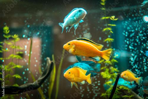 Obraz na płótnie Goldfish in freshwater aquarium with green beautiful planted tropical