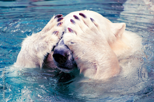 Fotografiet Large polar bear swimming in cold water