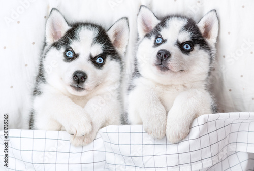 Canvas Print Two Siberian Husky puppies lie on pillow under blanket. Top view