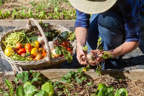 Au potager - récolte de légumes - betterave