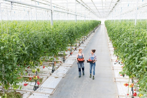 Fotografiet Young female farmers carrying tomatoes in crate at Greenhouse