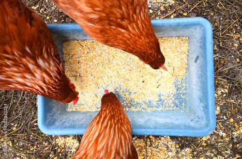 Fotografia, Obraz Three hens eating corn top view