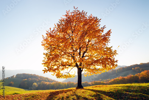 Majestic beech tree with sunny beams at autumn mountain valley Fototapet
