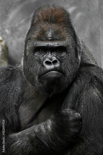Fotografia Portrait of a powerful dominant male gorilla , stern face and powerful arm