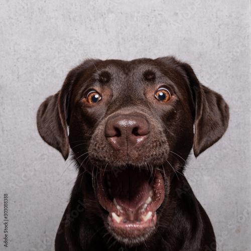 Canvas Print Lustiger Labrador