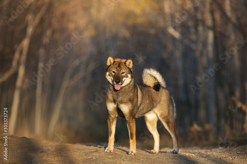Portrait of happy and beautiful japanese dog breed shikoku standing in the fores Poster Mural XXL