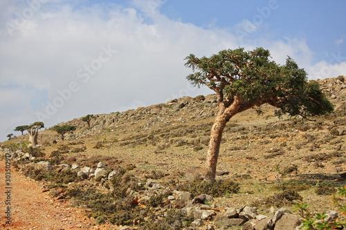 Photo Boswellia - frankincense tree - Socotra island