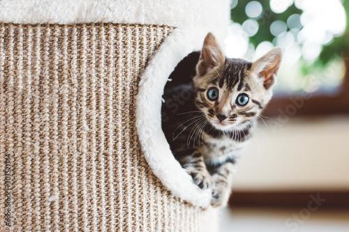 Carta da parati Young Bengal kitten play in cat tree at home