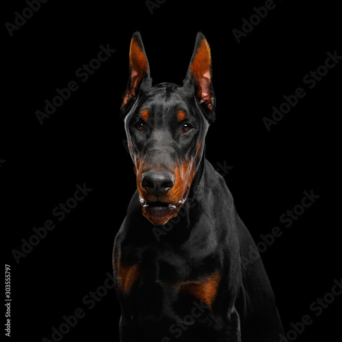Foto Portrait of Angry Doberman Dog looks menacing on isolated Black background