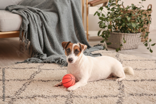 Fototapeta Cute Cute Jack Russell Terrier with ball lying on floor at home