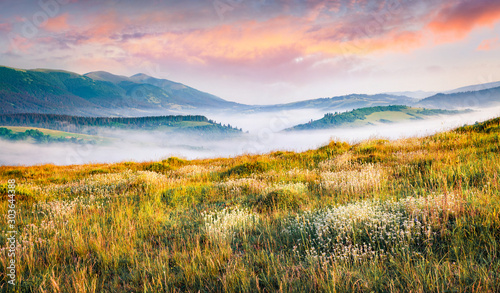 Canvas Print Blooming white flowers in Carpathians