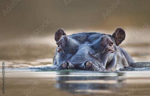 Stampa su Tela Hippopotamus