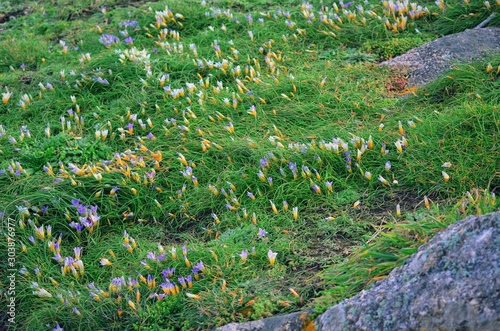 Delicate spring Romulea bulbocodium flowers on the slopes of the rocks